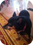 Miniature Pinscher Mix Dog for adoption in Marlton, New Jersey - Coco