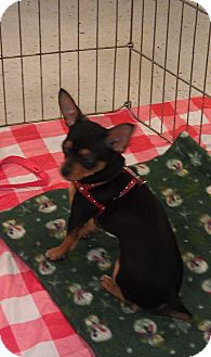 Chihuahua Puppy for adoption in Seattle, Washington - Elvis