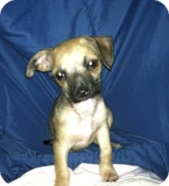 Brussels Griffon/Chihuahua Mix Dog for adoption in Phoenix, Arizona - Lilly