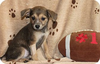 Chihuahua Mix Puppy for adoption in Salem, New Hampshire - Jets