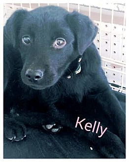 Labrador Retriever/Coonhound Mix Puppy for adoption in Collinsville, Oklahoma - Kelly
