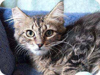 Maine Coon Kitten for adoption in Oakland, California - Mark