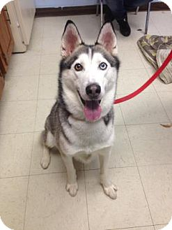 Siberian Husky Mix Dog for adoption in Lowell, Massachusetts - Caleb