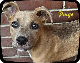 Labrador Retriever Mix Puppy for adoption in Ahoskie, North Carolina - Paige