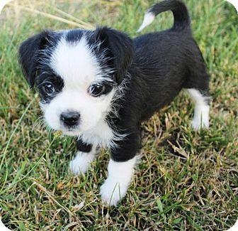 Shih Tzu/Boston Terrier Mix Puppy for adoption in Red Bluff, California - Violin