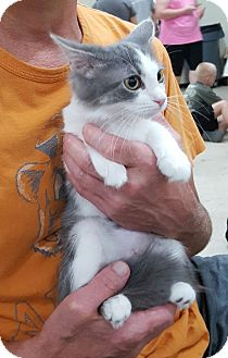 Domestic Shorthair Kitten for adoption in Knoxville, Tennessee - Lindy
