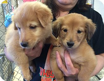Golden Retriever Mix Puppy for adoption in Greensburg, Pennsylvania - Marilyn and Jane