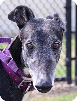 Greyhound Dog for adoption in Longwood, Florida - BB