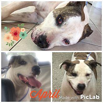 American Bulldog Mix Dog for adoption in Orlando, Florida - April