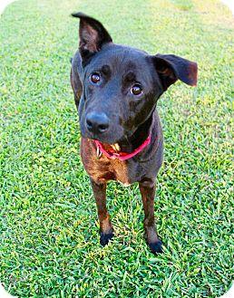 Shepherd (Unknown Type)/Labrador Retriever Mix Dog for adoption in Seattle, Washington - Hunter