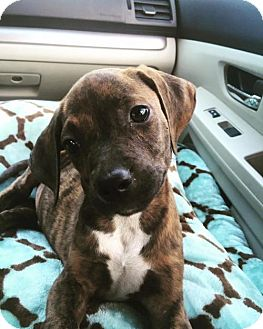 Hound (Unknown Type)/Dachshund Mix Puppy for adoption in Nesquehoning, Pennsylvania - Memphis