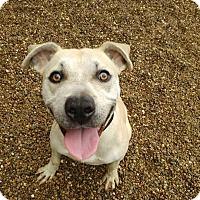 Adopt A Pet :: goldie - East McKeesport, PA