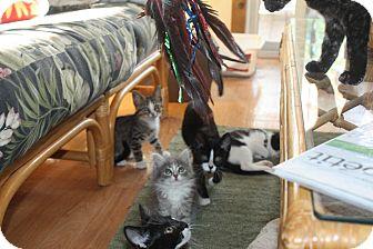 Domestic Longhair Kitten for adoption in St. Louis, Missouri - Ryann