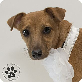 Rat Terrier Mix Dog for adoption in Troy, Ohio - Frannie
