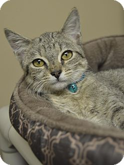 Domestic Shorthair Kitten for adoption in Germantown, Tennessee - Dave