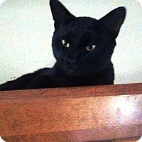 Adopt A Pet :: Shadow - Putnam, CT