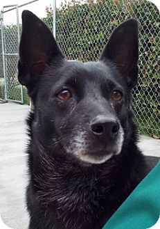 Schipperke Mix Dog for adoption in Grants Pass, Oregon - Princess
