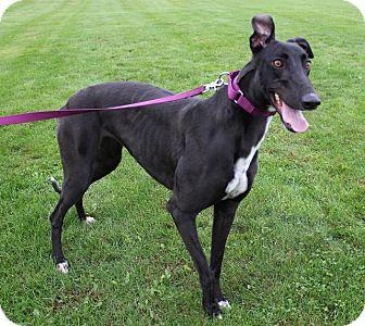 Greyhound Dog for adoption in Carol Stream, Illinois - Cry Gia