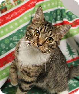 Domestic Shorthair Cat for adoption in Stockton, California - Thumbelina