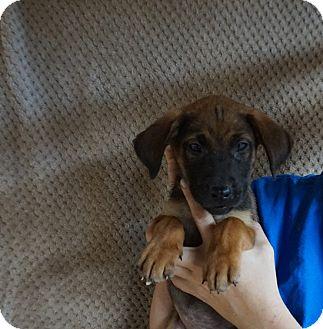 Australian Shepherd/Shepherd (Unknown Type) Mix Puppy for adoption in Oviedo, Florida - Topaz