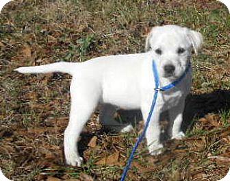 Pointer/Catahoula Leopard Dog Mix Puppy for adoption in Allentown, New Jersey - Sabrina