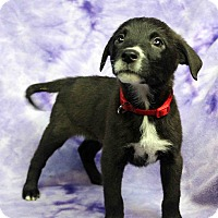 Adopt A Pet :: Paulie - Westminster, CO
