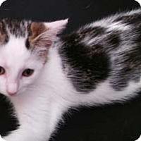 Adopt A Pet :: Bitz - Merrifield, VA