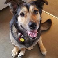 German Shepherd Dog/Corgi Mix Dog for adoption in Calgary, Alberta - Zoe