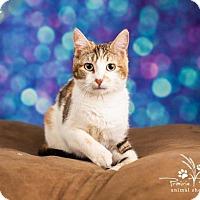 Domestic Shorthair Cat for adoption in Ottawa, Kansas - Erin *No Fee 8/2 - 8/31*