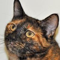 Domestic Shorthair/Siamese Mix Cat for adoption in Tilton, Illinois - Sweetie