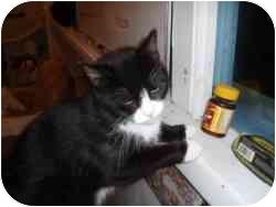 Domestic Shorthair Cat for adoption in Hamburg, New York - Bootsie