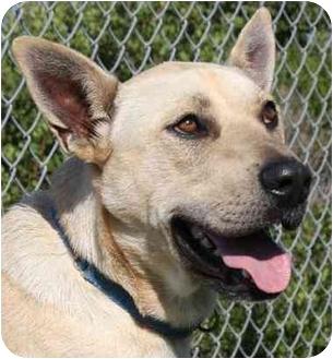 German Shepherd Dog/Labrador Retriever Mix Dog for adoption in San Clemente, California - PEPPY = 949-595-8899