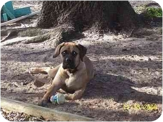 Bullmastiff Puppy for adoption in North Port, Florida - Sara