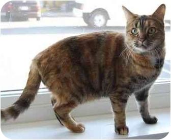 Calico Cat for adoption in Modesto, California - Abby