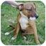 Photo 2 - Shepherd (Unknown Type)/Rhodesian Ridgeback Mix Puppy for adoption in Berkeley, California - Boots