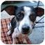 Photo 2 - Rat Terrier Mix Dog for adoption in Vista, California - Victoria