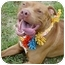 Photo 1 - American Pit Bull Terrier Dog for adoption in Huntington, New York - Tim