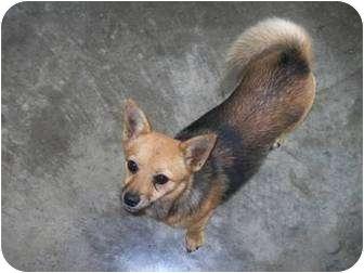 Shiba Inu Mix Dog for adoption in mishawaka, Indiana - Pebbles -PENDING
