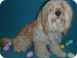Havanese/Lhasa Apso Mix Dog for adoption in Encino, California - Sherri