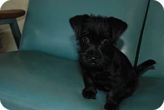 Schnauzer (Miniature)/Shih Tzu Mix Puppy for adoption in Harrisburgh, Pennsylvania - Marla