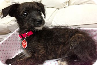 Poodle (Miniature)/Schnauzer (Miniature) Mix Puppy for adoption in Thousand Oaks, California - Joey