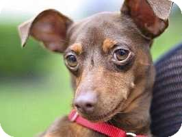 Miniature Pinscher Dog for adoption in Columbus, Ohio - Reese