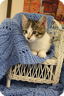 Domestic Shorthair Kitten for adoption in Chattanooga, Tennessee - Jill
