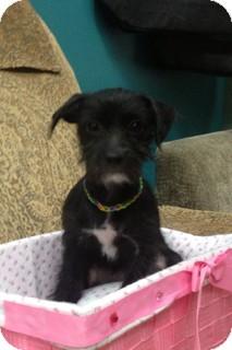 Schnauzer (Miniature)/Poodle (Miniature) Mix Puppy for adoption in Thousand Oaks, California - Sparky