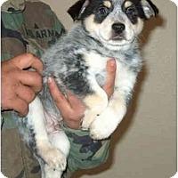 Adopt A Pet :: Sir Sanders - Phoenix, AZ