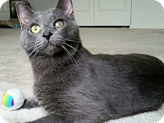 Russian Blue Cat for adoption in Hillside, Illinois - Mozart