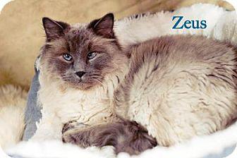 Ragdoll Cat for adoption in West Des Moines, Iowa - Zeus