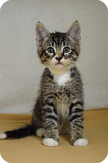Domestic Shorthair Kitten for adoption in Dublin, California - Zion