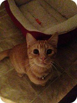 Domestic Shorthair Cat for adoption in Colorado Springs, Colorado - Bruster