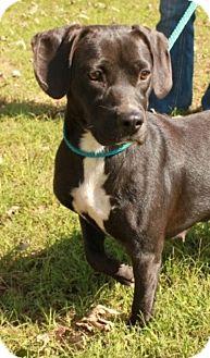 Labrador Retriever/Basset Hound Mix Dog for adoption in Newark, New Jersey - Anna Beth